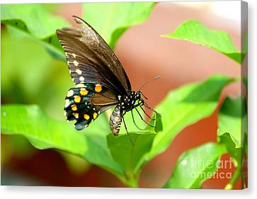 Canvas Print featuring the photograph Butterfly Nesting by Jay Nodianos
