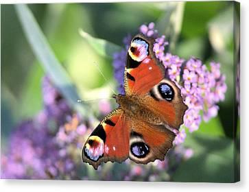 Butterfly On Buddleia Canvas Print by Gordon Auld