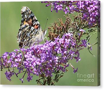 Canvas Print featuring the photograph Painted Lady Butterfly by Eunice Miller