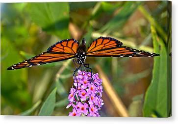 Butterfly On Butterfly Bush Canvas Print by Susan Leggett