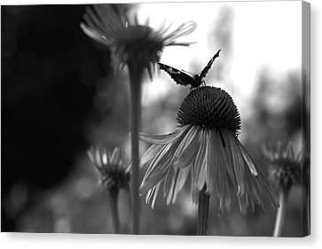 Butterfly On Echinacea Canvas Print by Maeve O Connell
