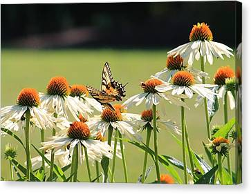 Butterfly On Echinacea Canvas Print