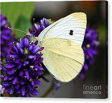 Butterfly On Hebe Canvas Print by Chuck Flewelling