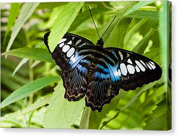 Canvas Print featuring the photograph Butterfly On Leaf   by Lars Lentz