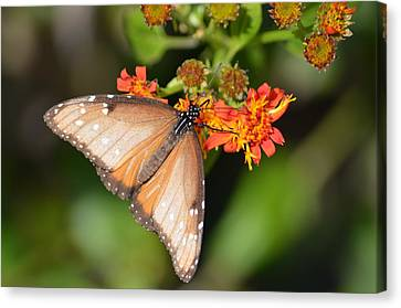 Canvas Print featuring the photograph Butterfly On Mexican Flame by Debra Martz