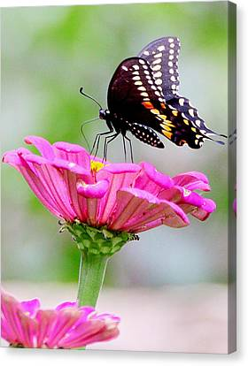 Butterfly On Pink Flower Canvas Print