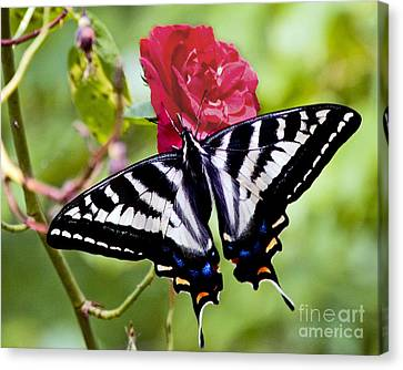 Butterfly On Rose Canvas Print by Chuck Flewelling