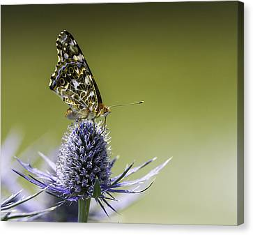 Butterfly On Thistle Canvas Print by Peter v Quenter