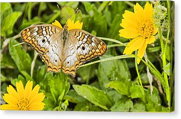 Butterfly On Yellow Flower Canvas Print by Don Durfee