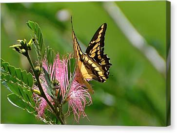Butterfly Papilio Thoas Nealces2 Canvas Print by Michael Lilley