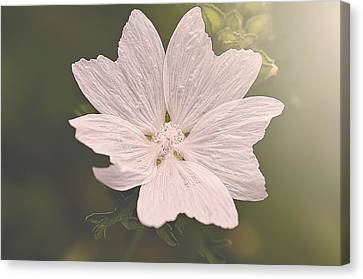 Butterfly Petals Canvas Print by Faith Simbeck