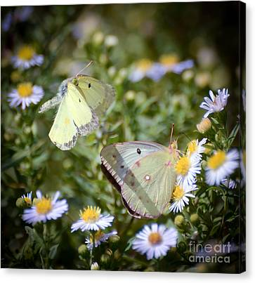 Butterfly Moments  Canvas Print by Kerri Farley
