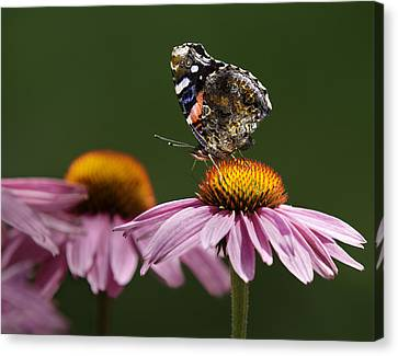 Canvas Print featuring the photograph Butterfly Red Admiral On Echinacea by Peter v Quenter