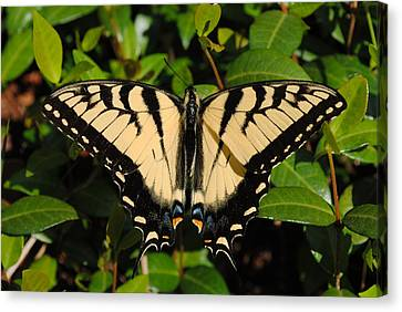 Canvas Print featuring the photograph Butterfly by Robert  Moss