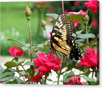 Canvas Print featuring the photograph Butterfly Rose by Greg Simmons