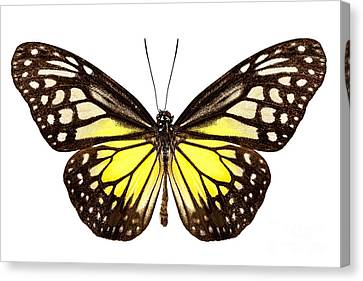 Butterfly Species Parantica Aspasia Common Name Yellow Glassy Ti Canvas Print by Pablo Romero
