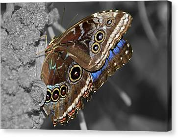 Butterfly Spot Color 1 Canvas Print by Bob Slitzan