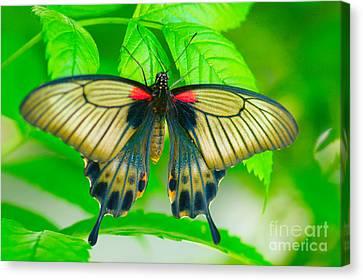 Butterfly Study #0064 Canvas Print by Floyd Menezes