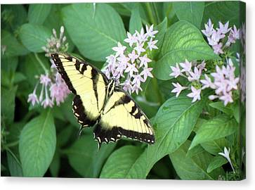 Butterfly - Swallowtail Canvas Print by Pamela Critchlow