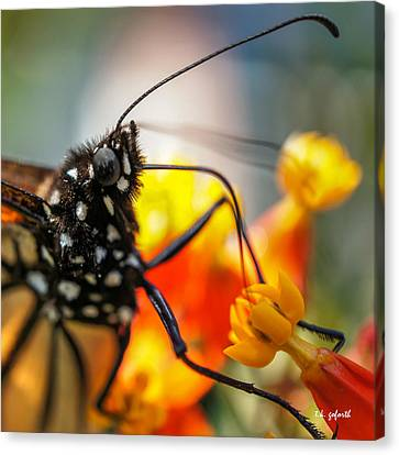 Butterfly Tongue Squared Canvas Print by TK Goforth
