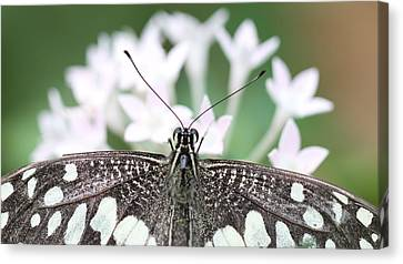 Butterfly View Canvas Print by Ramabhadran Thirupattur