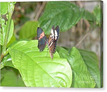 Butterfly4 Canvas Print by Kryztina Spence