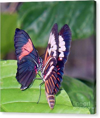 Butterfly6 Canvas Print by Kryztina Spence