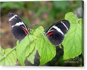 Butterfly9 Canvas Print by Kryztina Spence