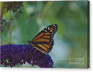 Canvas Print featuring the photograph Butterflybush by Christopher Mace