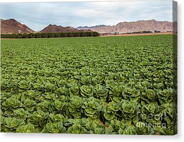 Romaine Canvas Print - Butterhead Lettuce Farm by Robert Bales
