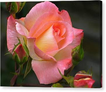 Buttermilk Pink Canvas Print