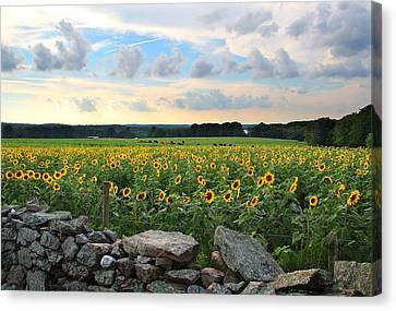 Buttonwood Farm Sunflowers Canvas Print by Andrea Galiffi