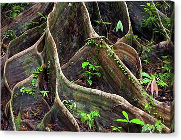 Buttress Roots Canvas Print