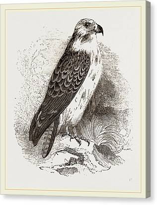 Buzzard Canvas Print by Litz Collection
