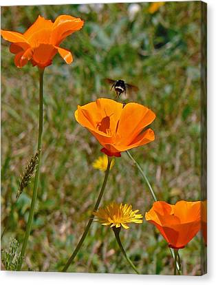 Ca Poppies And Bee  Canvas Print by Gracia  Molloy