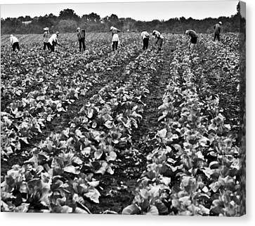 Canvas Print featuring the photograph Cabbage Farming by Ricky L Jones