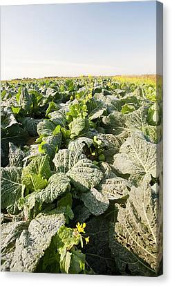 Cabbage Growing On A Farm Canvas Print by Ashley Cooper