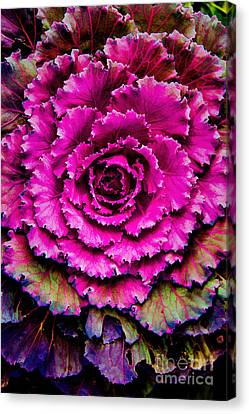 Cabbage Canvas Print by Jon Burch Photography