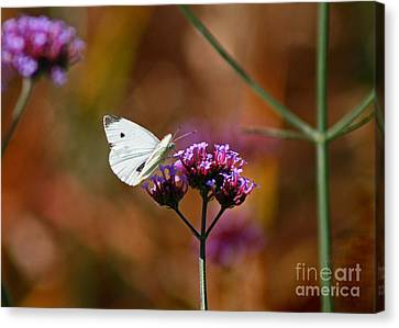 Cabbage White Butterfly In Fall Canvas Print by Karen Adams