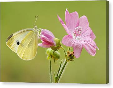 Cabbage White Butterfly On Flower Canvas Print by Silvia Reiche