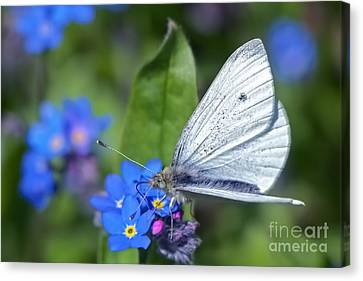 Cabbage White Butterfly On Forget-me-not Canvas Print