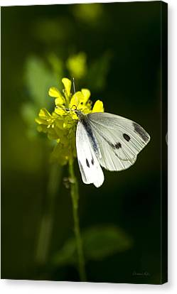 Cabbage White Butterfly On Yellow Flower Canvas Print