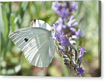 Cabbage White On Lavender  Canvas Print