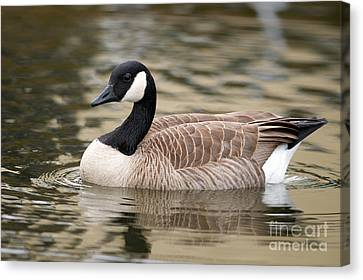 Cackling Goose Canvas Print by Sharon Talson