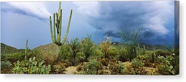 Cacti Growing At Saguaro National Park Canvas Print