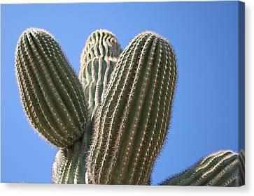 Cactus 16 Canvas Print