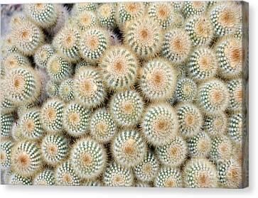 Cactus 35 Canvas Print