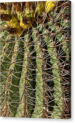 Cactus About To Bloom 2 Canvas Print by Douglas Barnett