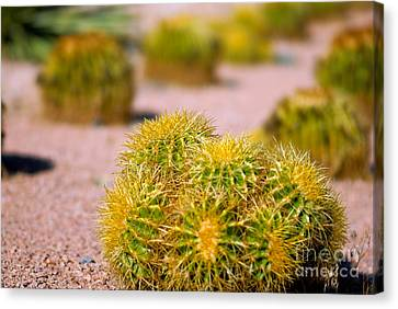 Cactus Canvas Print by Amy Cicconi