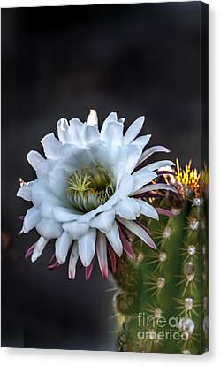 Cactus Beauty Canvas Print by Robert Bales